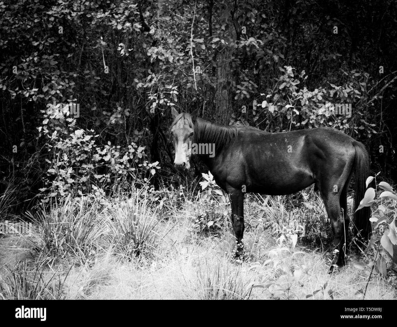 Wild horse brumby on mountain feeding on grass - Stock Image