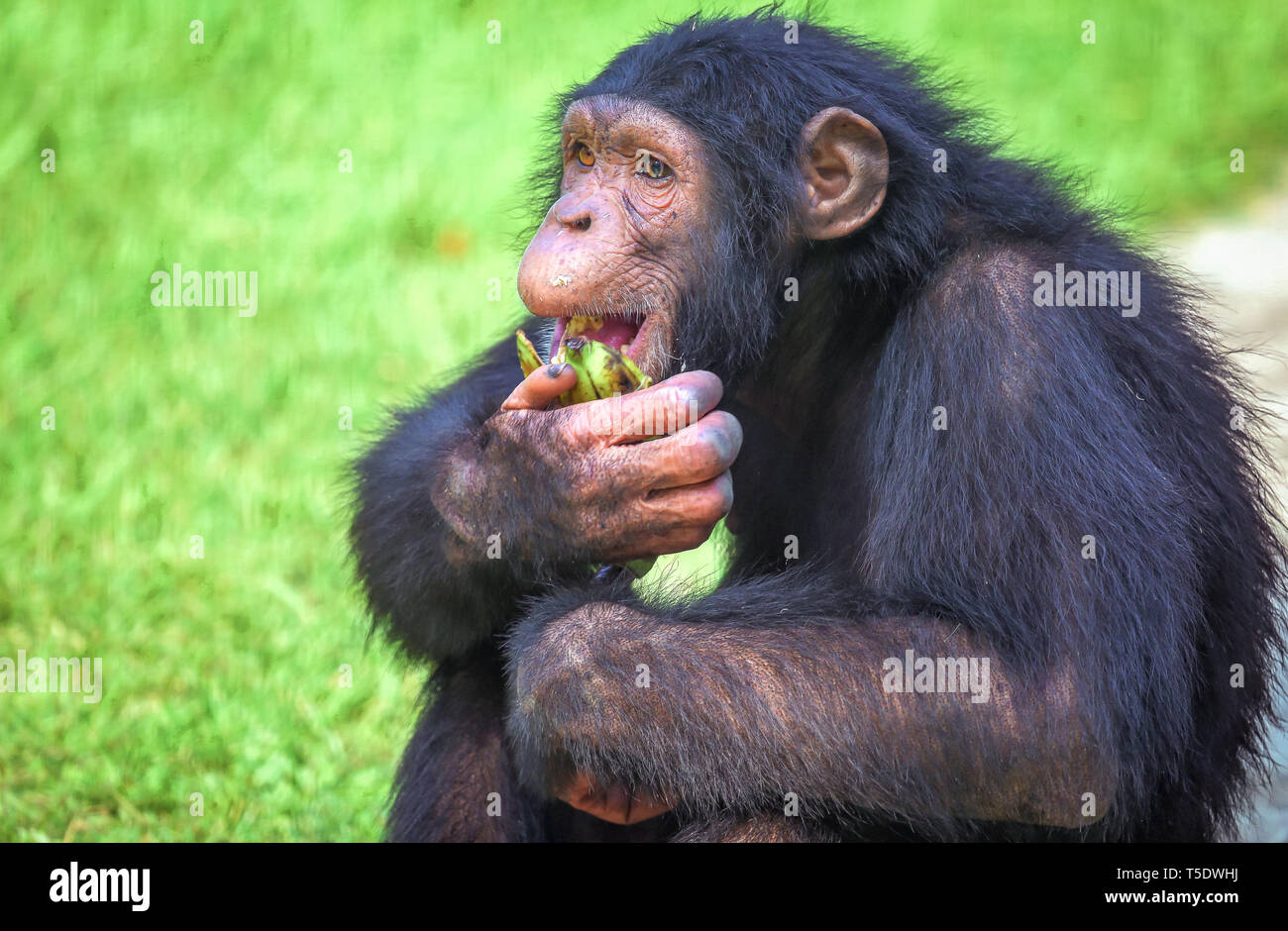 Chimpanzee at an Indian wildlife sanctuary in close up view eating banana Stock Photo