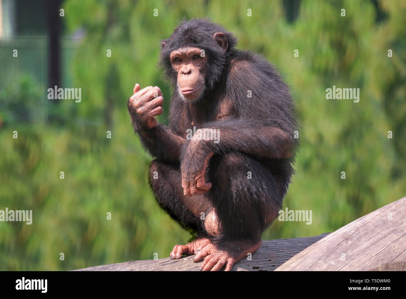 African chimpanzee at Indian wildlife sanctuary. Chimps among all apes are closest to humans in behavioral traits. - Stock Image