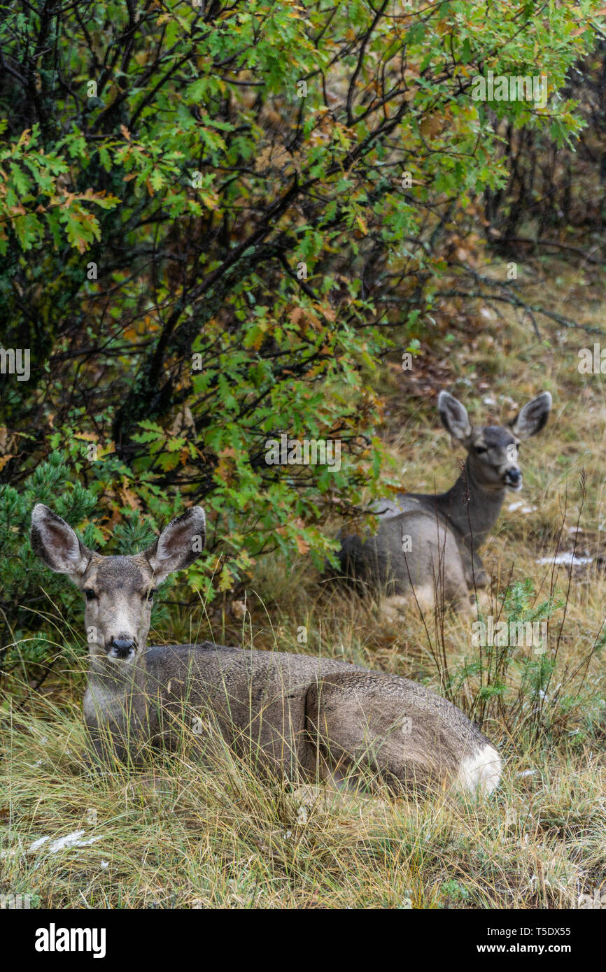 Deer Wildlife Photography in the Garden of the Gods Colorado Springs - nature photography in colorado. - Stock Image