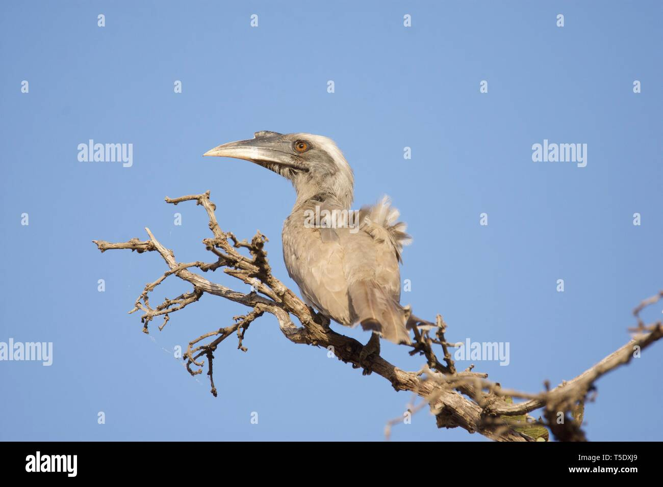 Indian Grey Hornbill on Fire of the Jungle - Stock Image