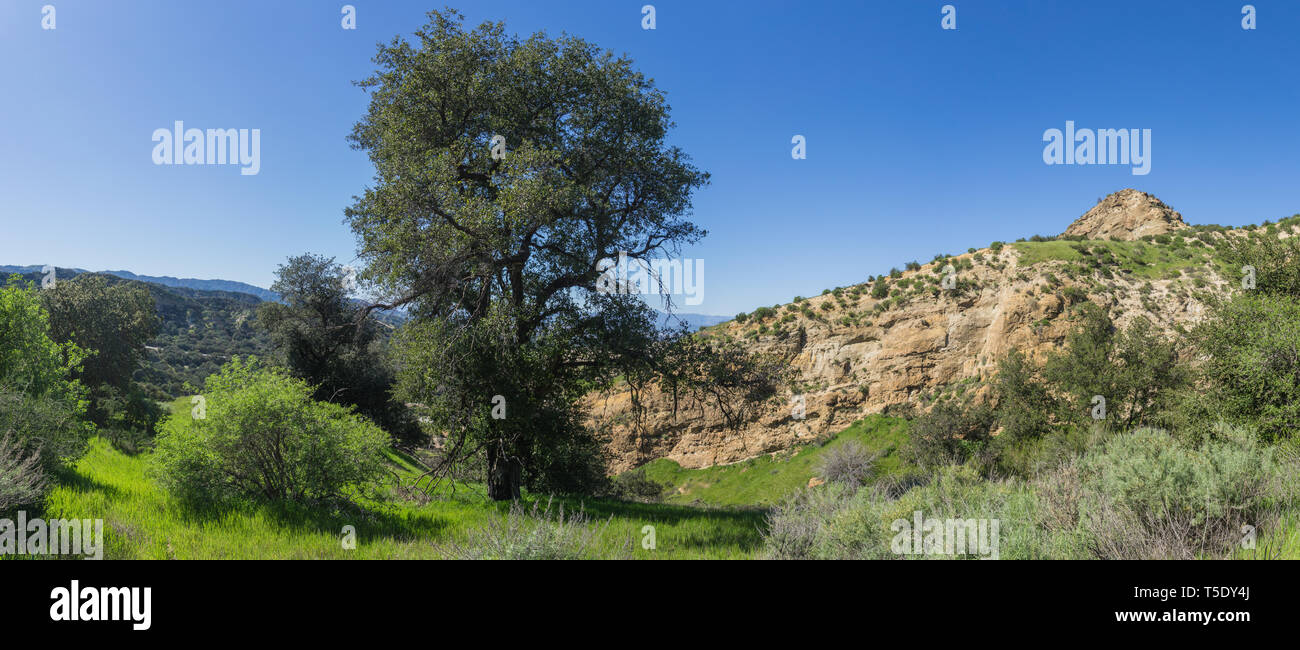 Tall green oak tree grows in the midst of rocky canyon in southern California wilderness. - Stock Image