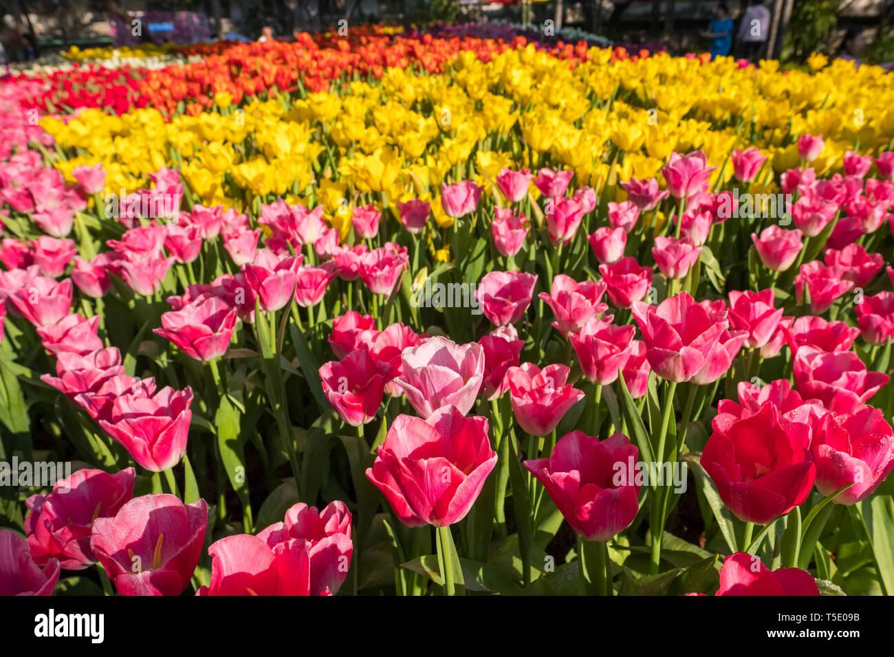 Beautiful varicolored tulips close-up - Stock Image