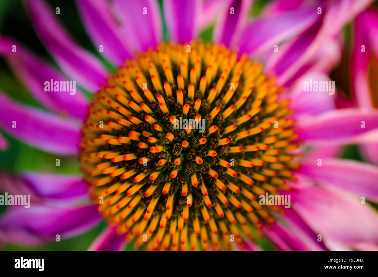 Blume, Sonnenhut, Echinacea, Lila Echinacea, Roter Sonnenhut, Purpur Sonnenhut, Echinacea Purpurea. Nahaufnahme der Blüte - Stock Image