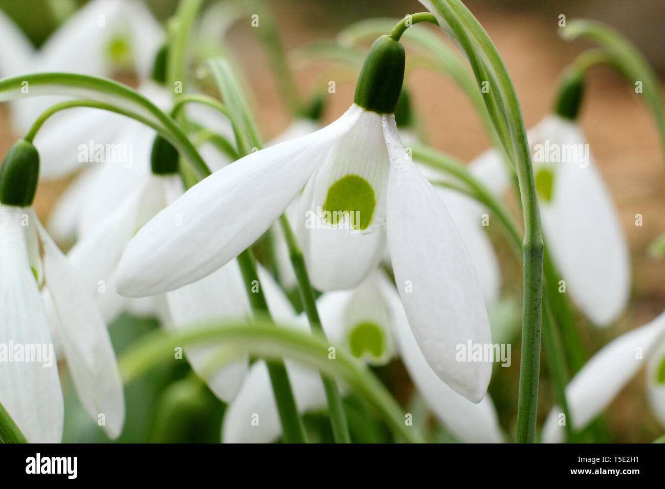 Galanthus 'Bill Bishop'. Large flowers of Bill Bishop snowdrop  - February, UK. Also called Galanthus Mighty Atom. - Stock Image