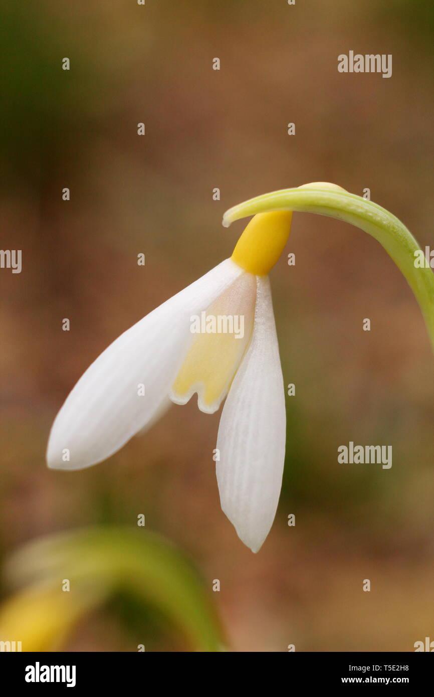 Galanthus plicatus 'Wendy's Gold' snowdrop displaying characteristic yellow markings - February, UK - Stock Image