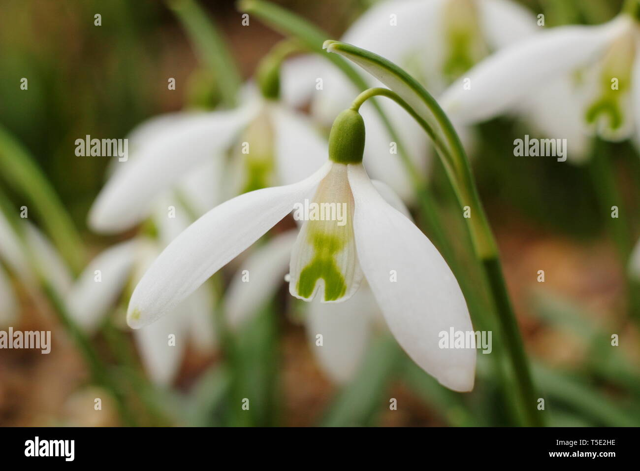 Galanthus 'Curly', a highly fragrant snowdrop displaying characteristic green 'cross' on inner segments - February, UK - Stock Image