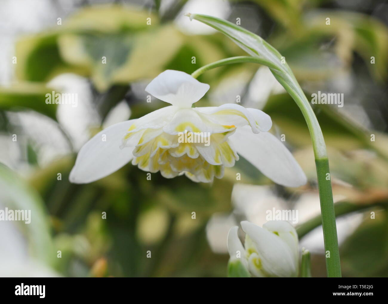 Galanthus nivalis f. pleniflorus 'Lady Elphinstone'. Characteristic double blooms and yellow markings of Lady Elphinstone snowdrop - February, UK - Stock Image