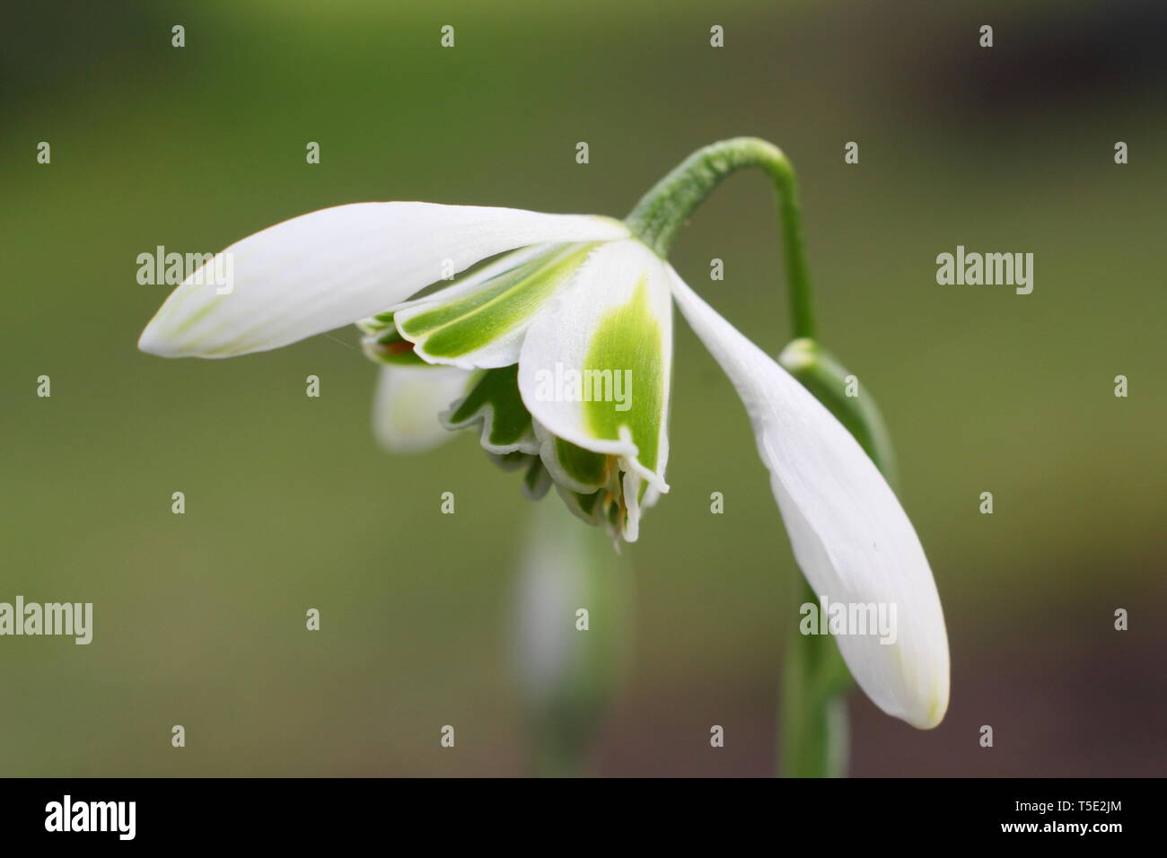 Galanthus 'Jaquenetta'. Distinctive green markings of the double bloom Jaquenetta snowdrop from the Greatorex group - February, UK - Stock Image