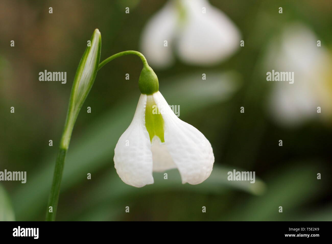 Galanthus plicatus 'Diggory' snowdrop displaying characteristic flared and textured outer sements (petals) - Febraury, UK - Stock Image