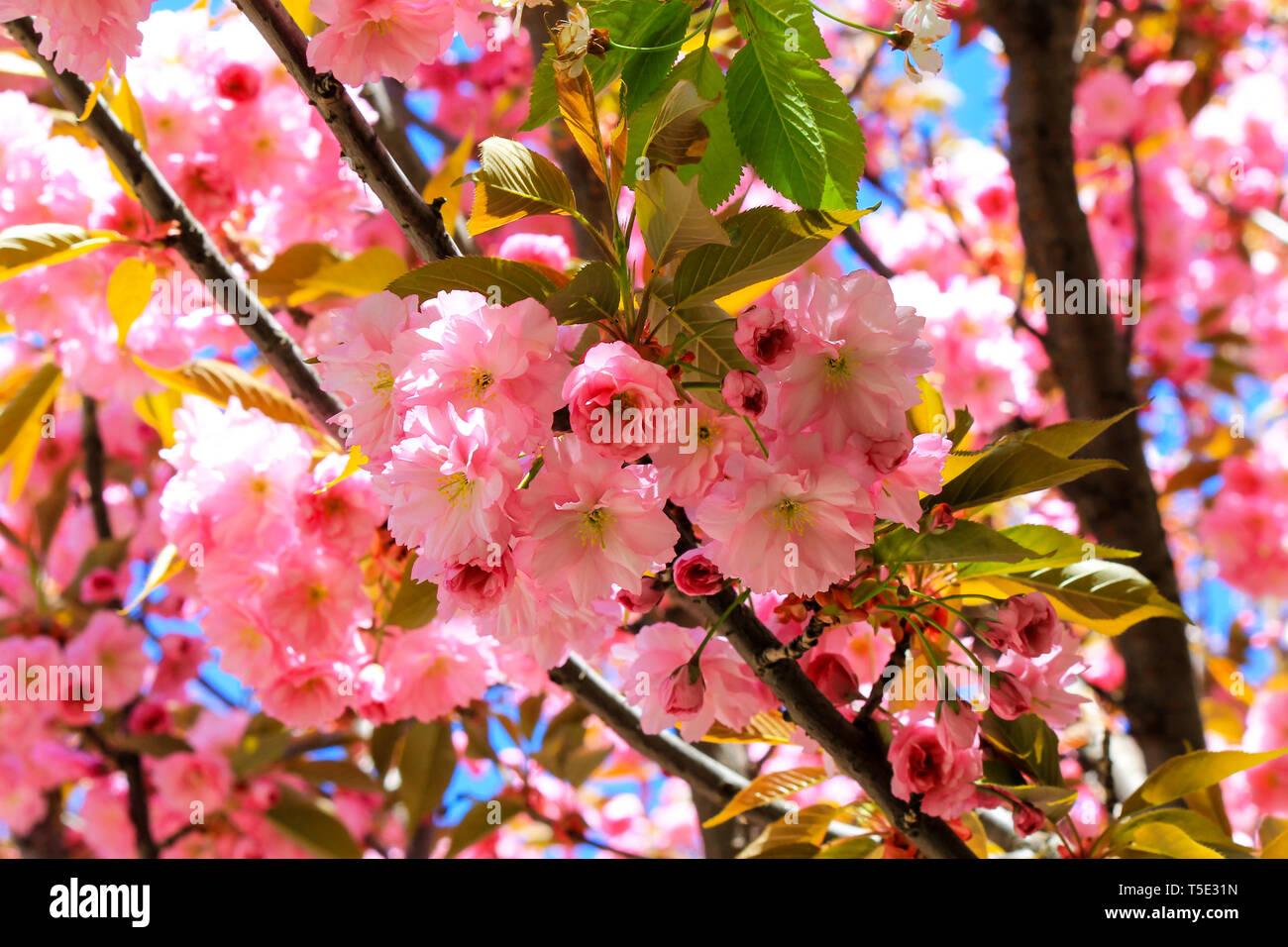 Beautiful Pink Flowers Of Sakura Japanese Cherry Blossomed In