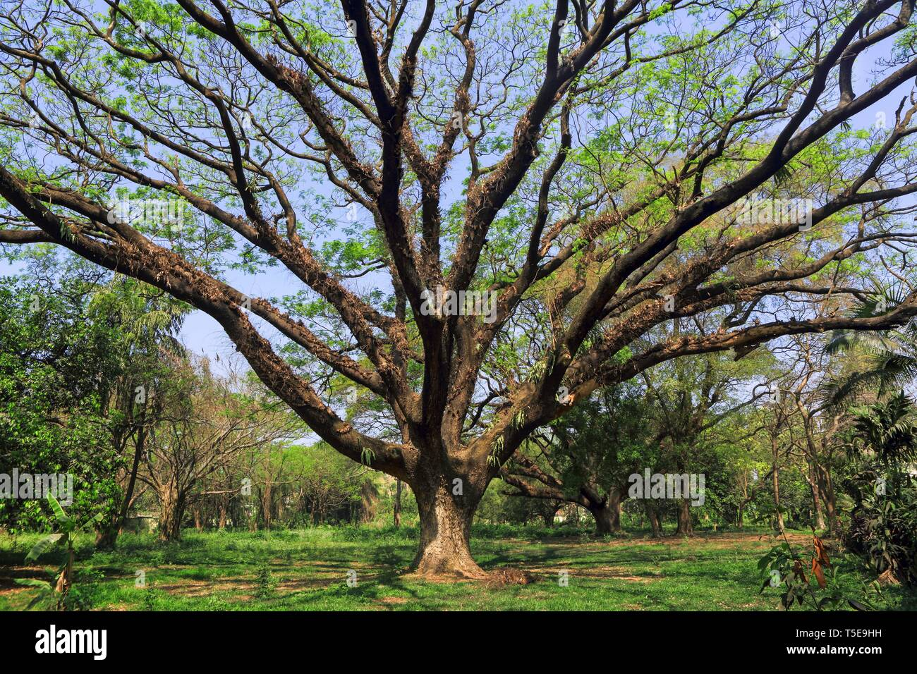tree, Acharya Jagadish Chandra Bose, Botanic Garden, West Bengal, India, Asia - Stock Image