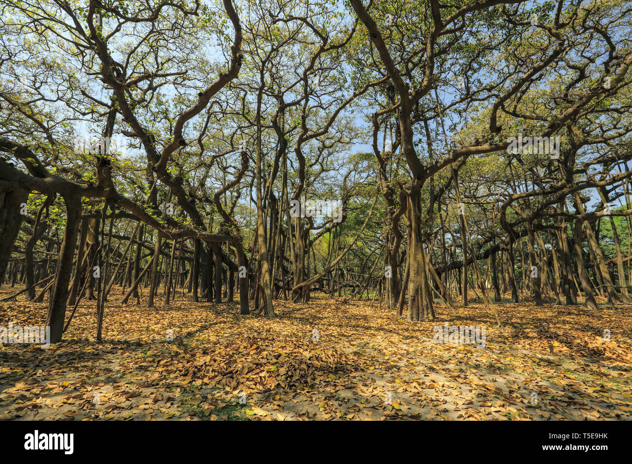 banyan tree, Acharya Jagadish Chandra Bose, Botanic Garden, West Bengal, India, Asia - Stock Image