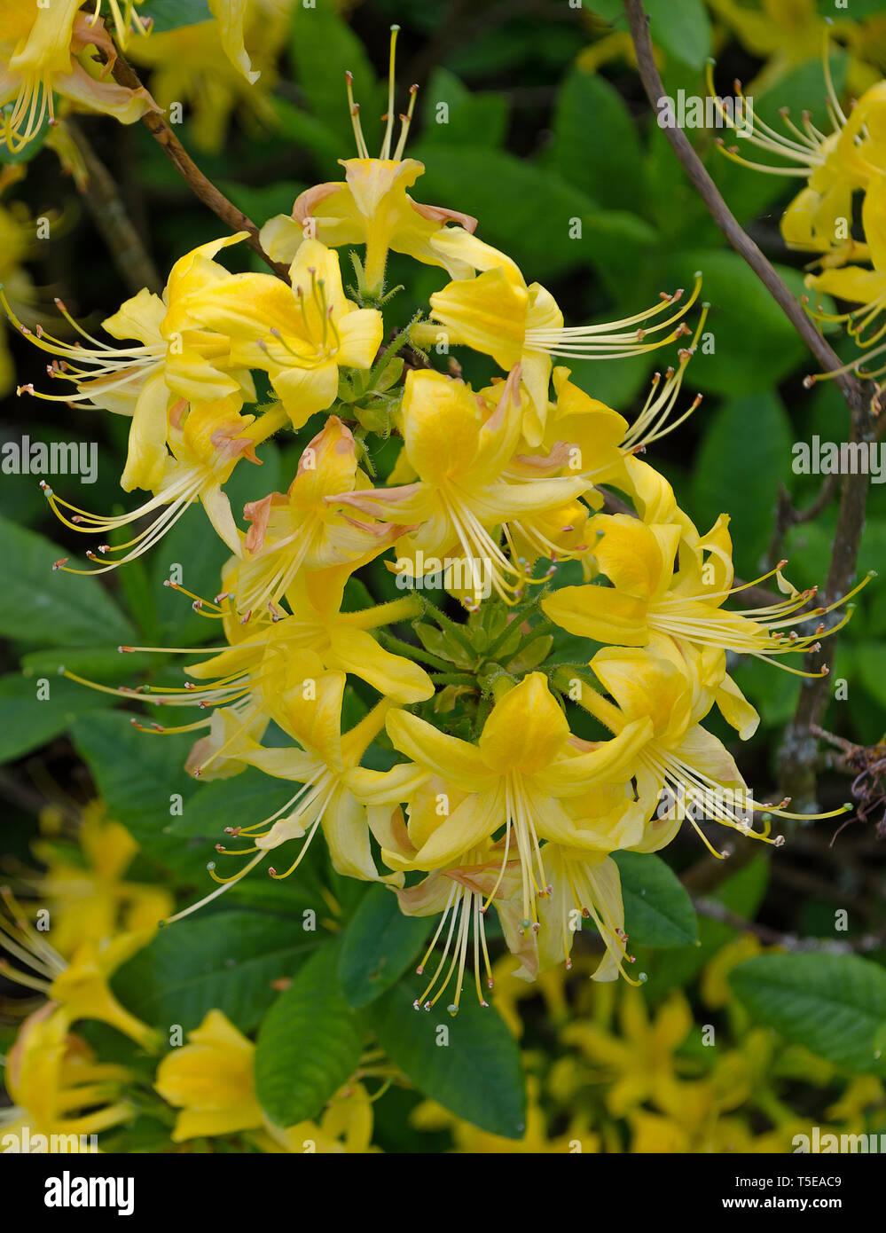 Rhododendron Luteum aka Yellow Azalea or Honeysuckle Azalea Stock Photo