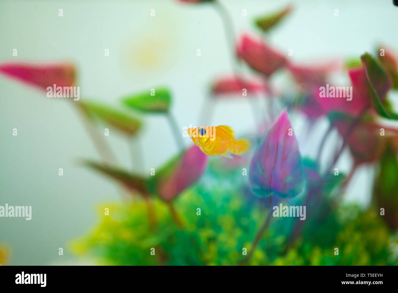 Little Molly fish, Poecilia latipinna in fish tank or aquarium, underwater life concept. Stock Photo