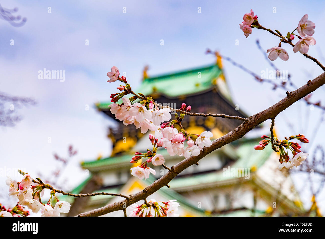 Cherry blossom in the grounds of Osaka Castle, Japan, with the castle keep. Stock Photo