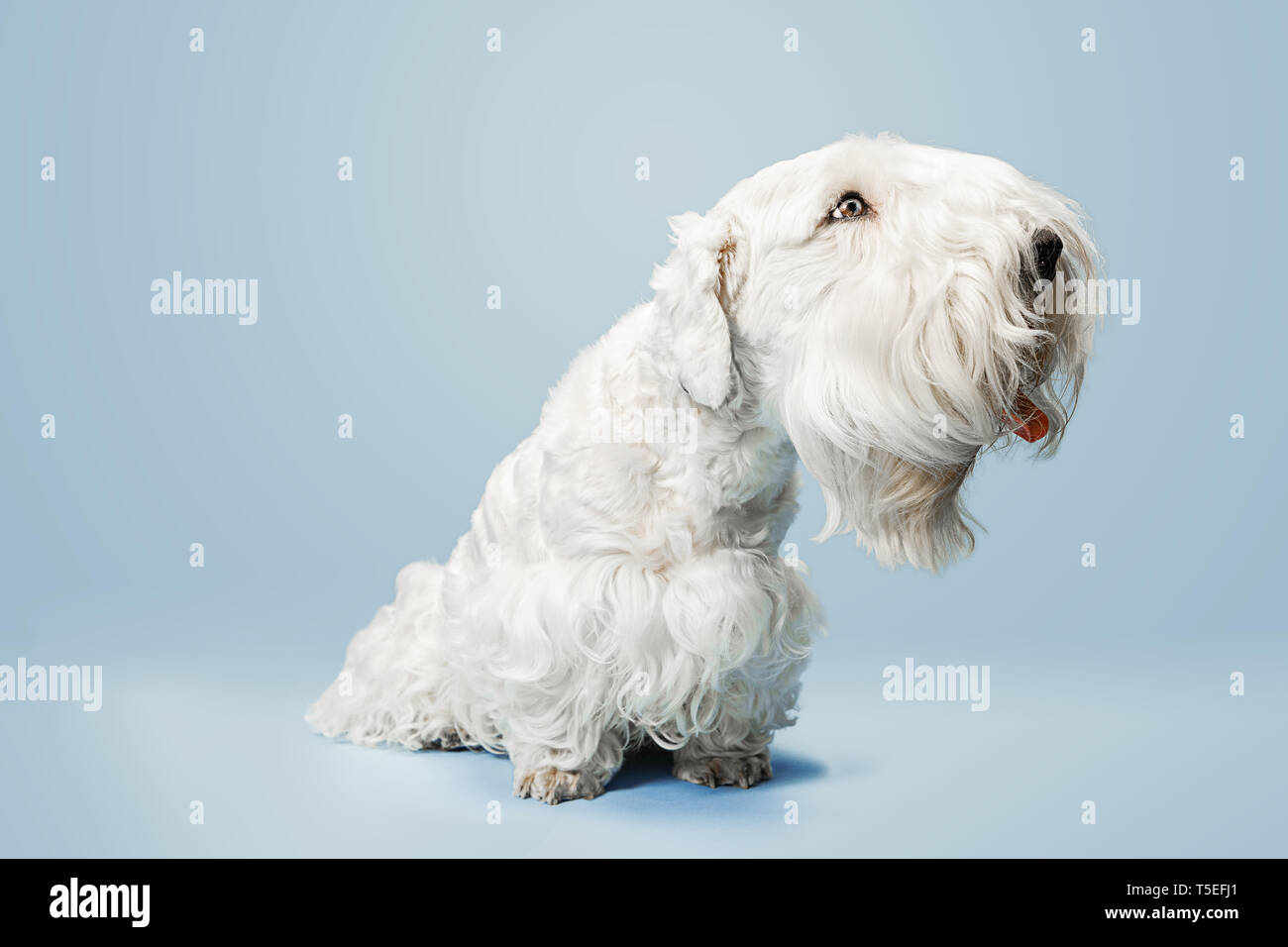 Groomed Terrier Puppy With Fluffy Fur Cute White Little Doggy Or Pet Is Playing And Running Isolated On Blue Background Studio Photoshot Negative Space To Insert Your Text Or Image Stock Photo