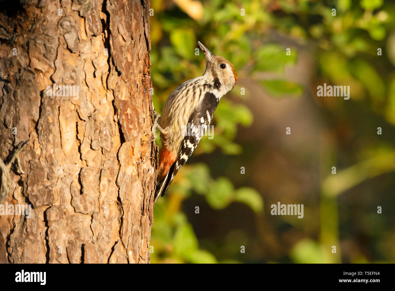 Brown-fronted woodpecker, Dendrocoptes auriceps, Sattal, Uttarakhand, India. Stock Photo