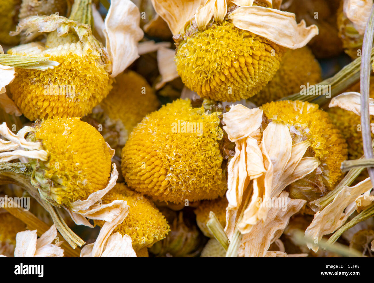 chamonille dried flower detail close up - Stock Image