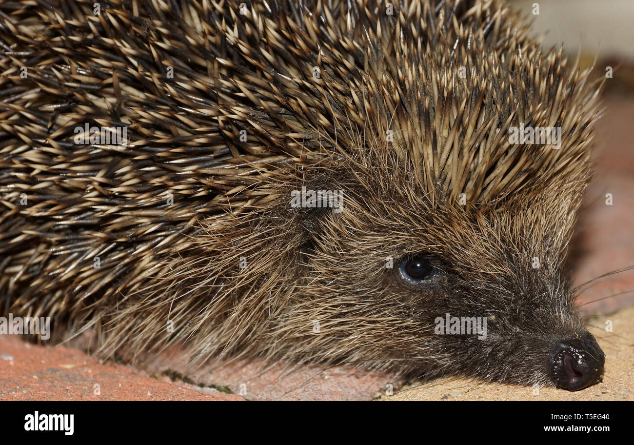 Hedge Hog frequent garden visitor - Stock Image