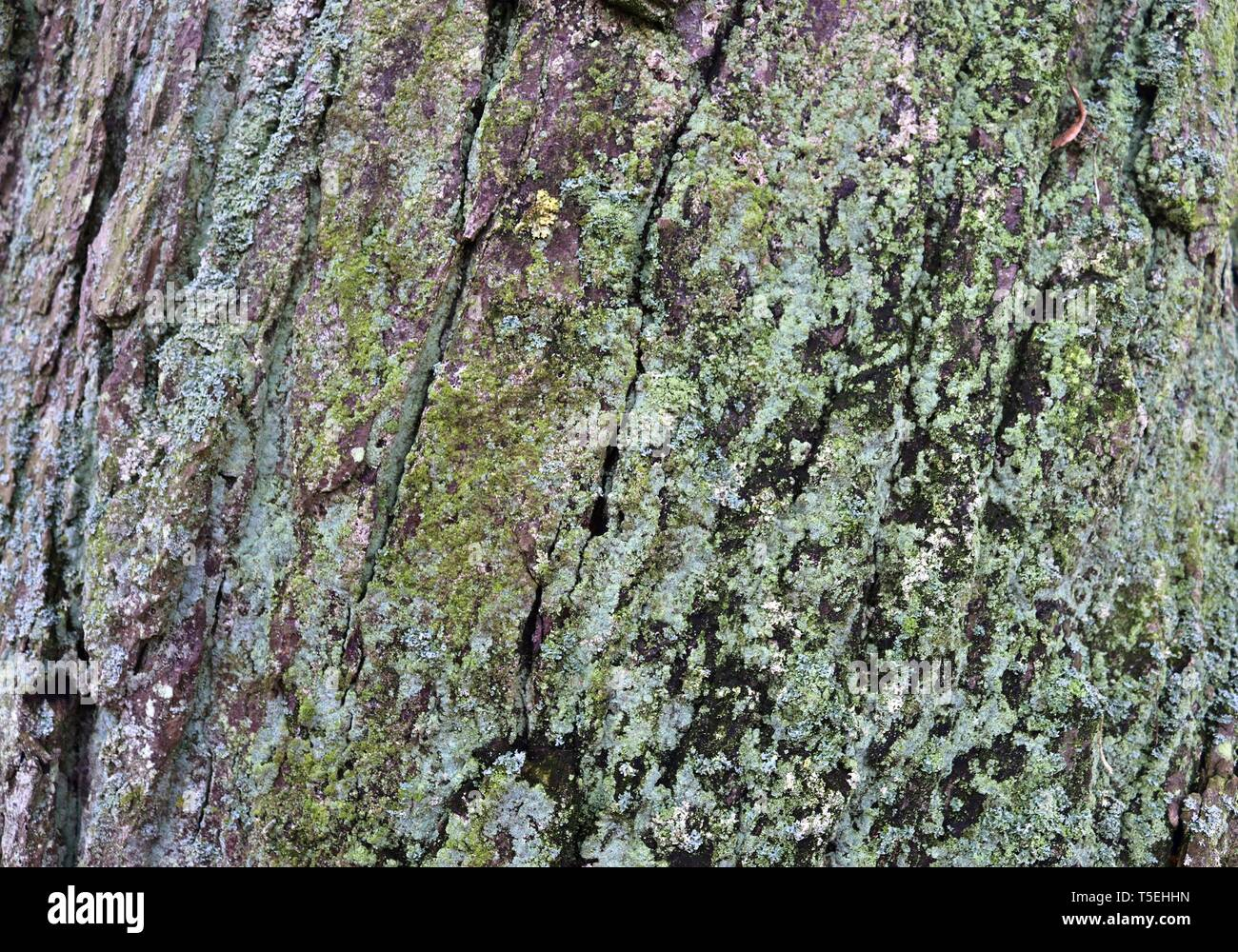 Close up surface of tree bark in a forest in high resolution - Stock Image