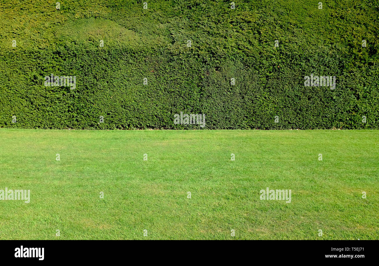 trimmed yew hedge and cut lawn in garden, norfolk, england - Stock Image