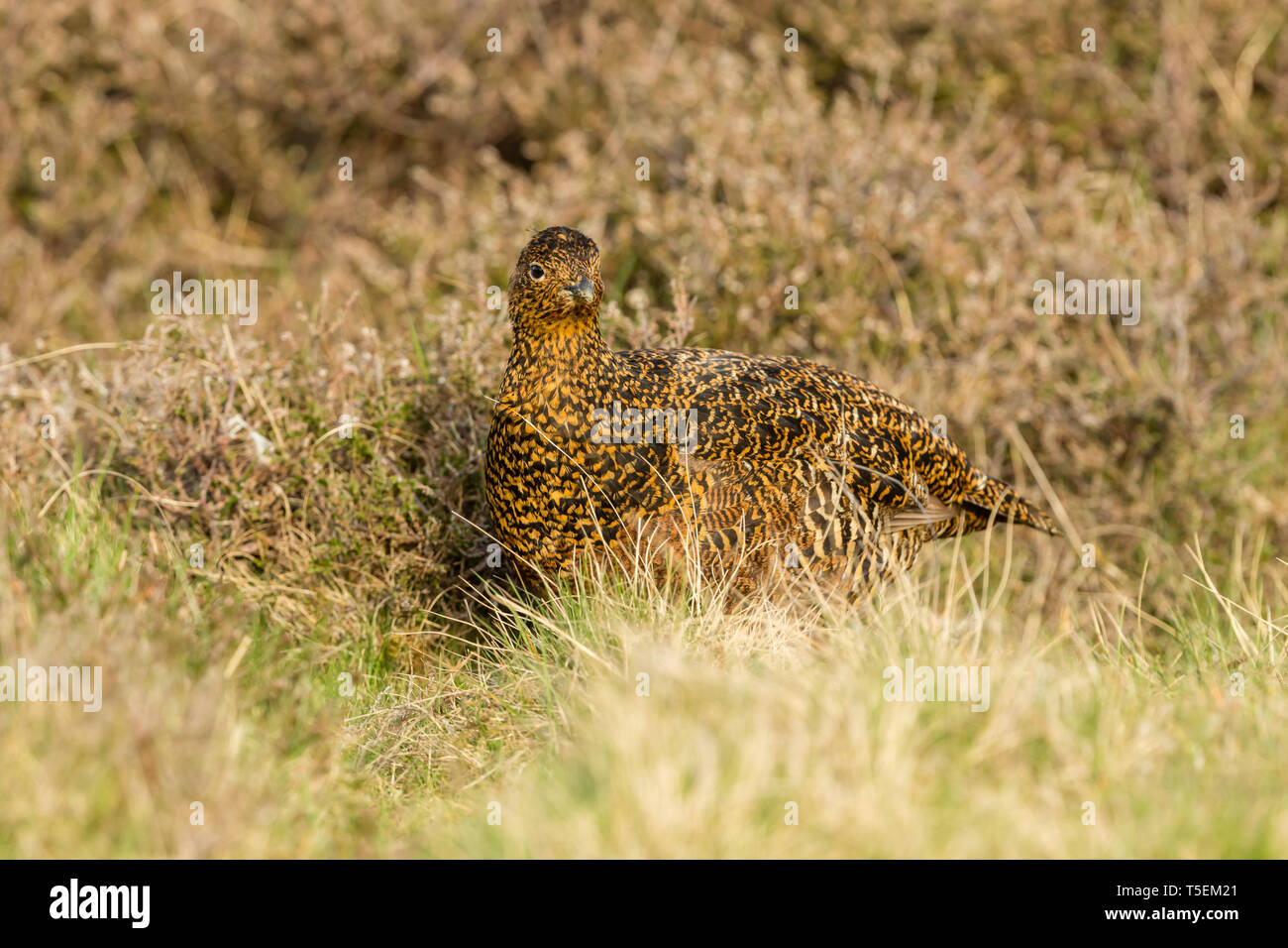 Red Grouse (Scientific name: Lagopus lagopus) Hen or female bird stood in natural moorland habitat in Springtime. Blurred background. Landscape - Stock Image