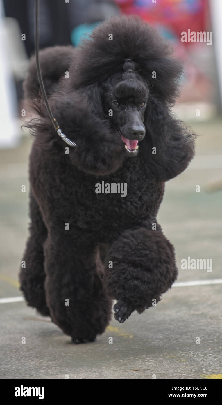 Dog show champion Israel, Brown Medium Poodle presenting itself at a dog show. Property Release Available - Stock Image
