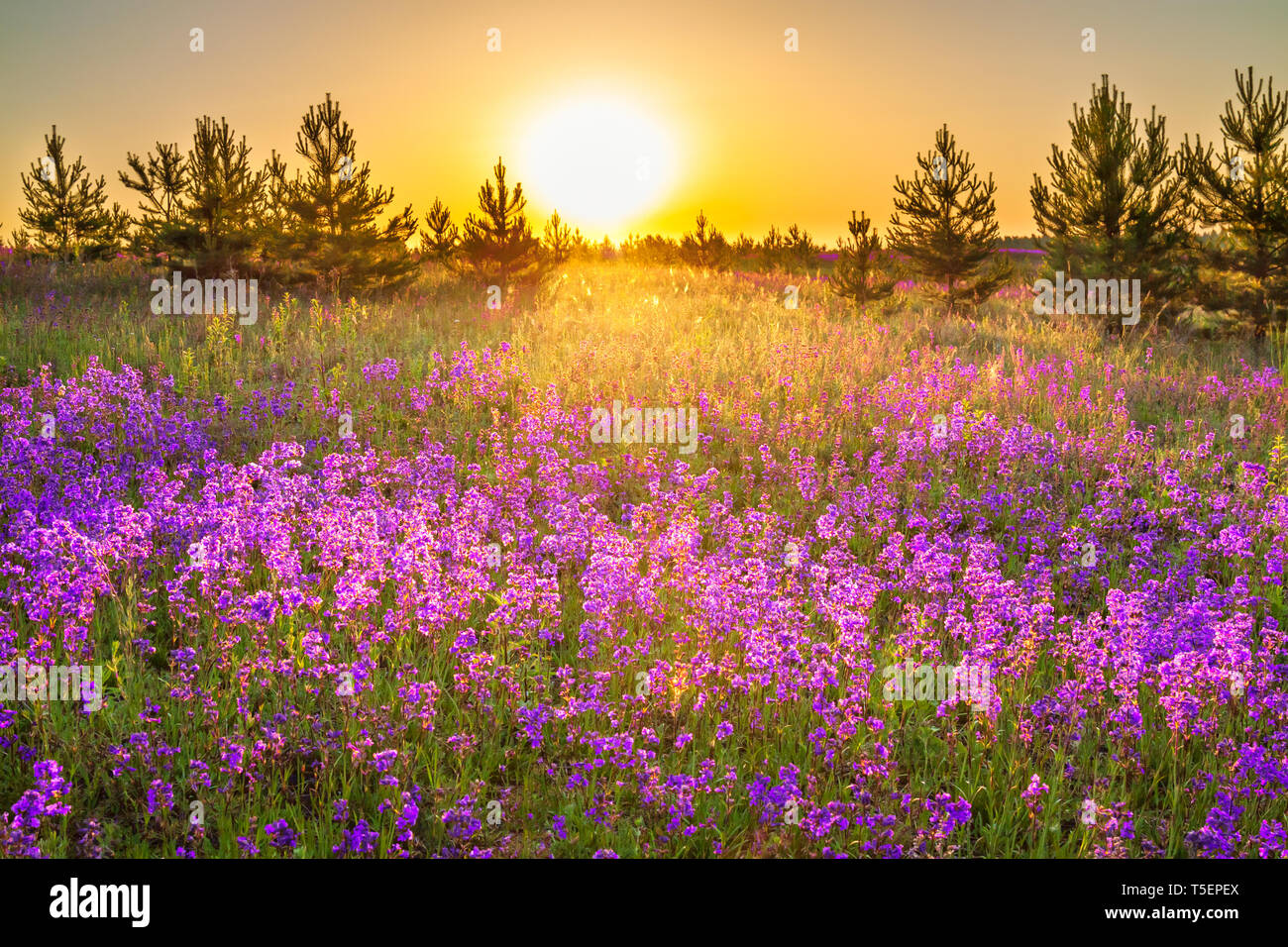 Beautiful Spring Landscape With Flowering Purple Flowers On Meadow And Sunrise Wildflowers Blooming On Summer Field Wild Scenery With Sunset Wonder Stock Photo Alamy