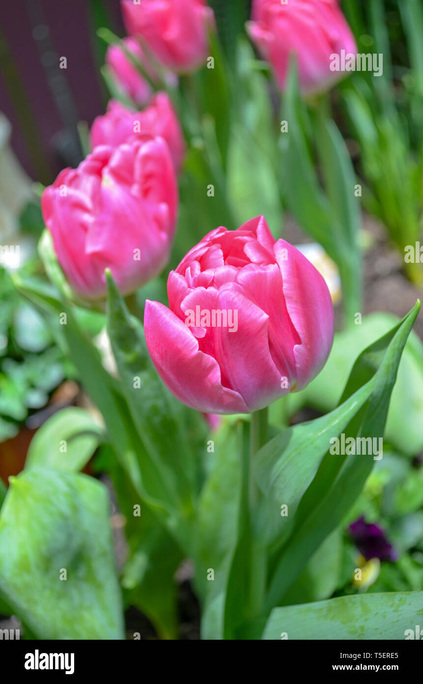 Tulips in Flower Dome, Garden By The Bay Singapore - Stock Image