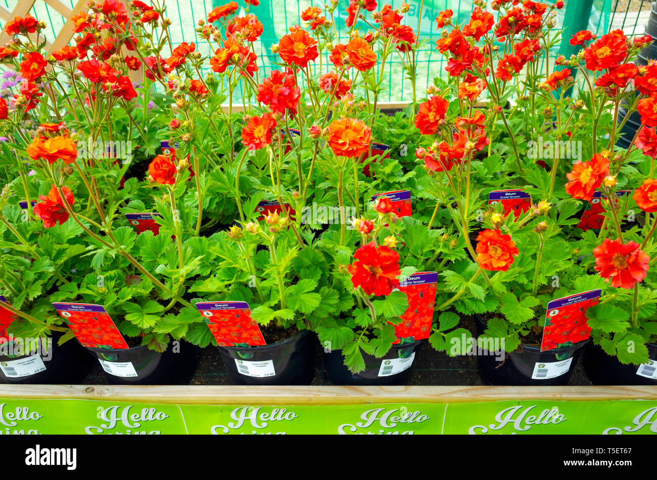 Garden centre display of young flower plants in early spring,  Geum Scarlet Tempest for sale as bedding plants for planting. Stock Photo