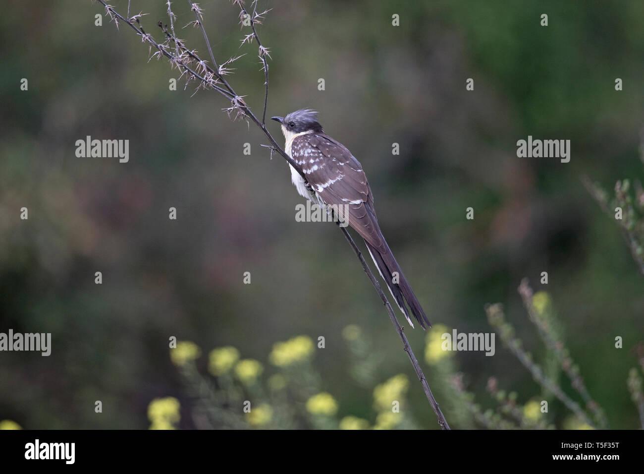 Great Spotted Cuckoo (Clamator glandarius) - Stock Image