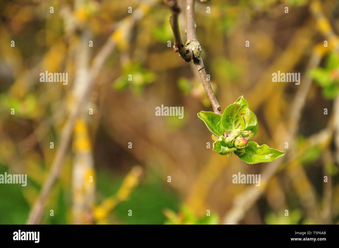 close-up of a pink bud of an apple tree surrounded by hairy leaves - Stock Image
