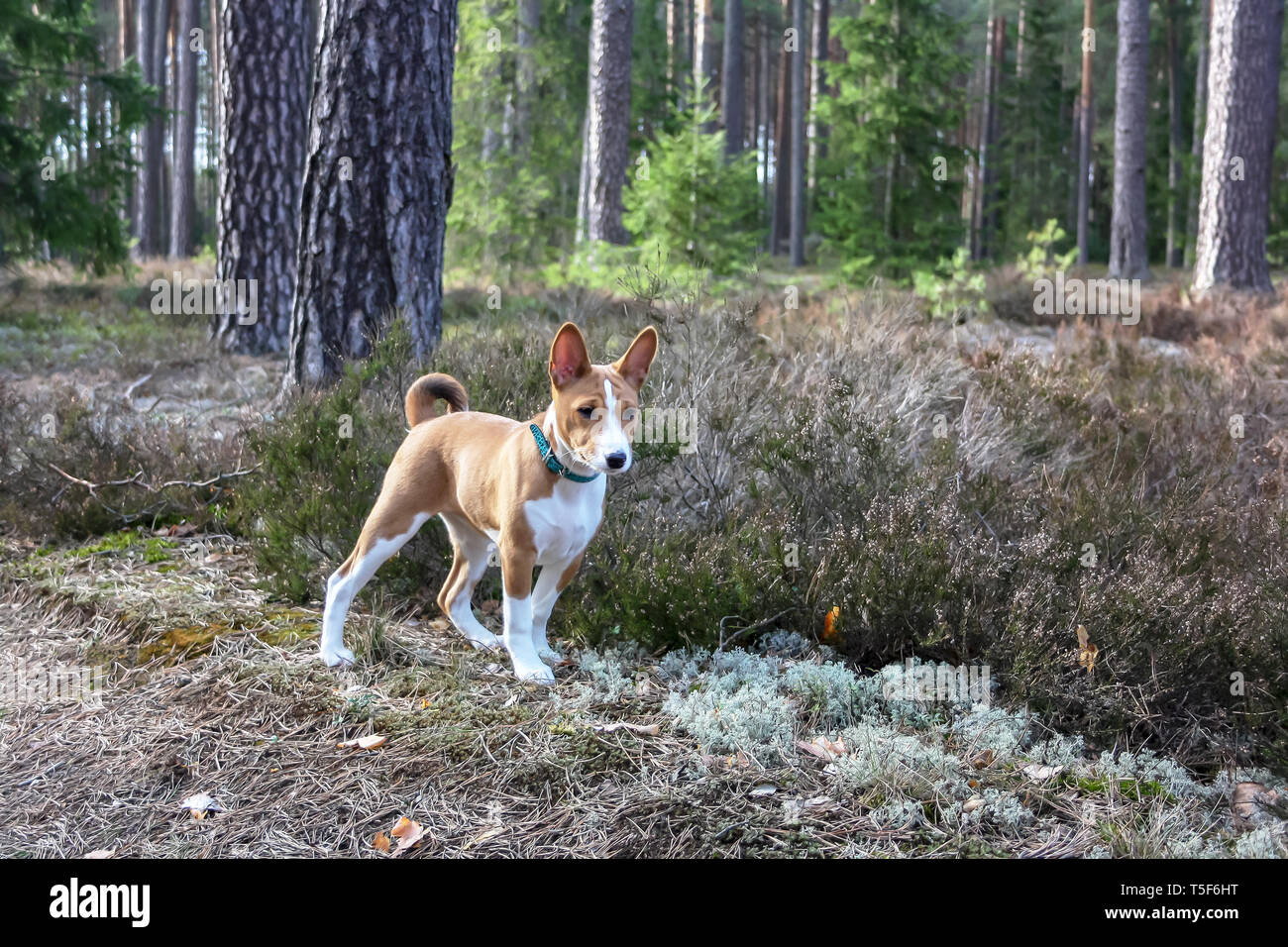 A dog of basenji breed with short hair of white and red color, standing outside with forest in the background on summer - Stock Image