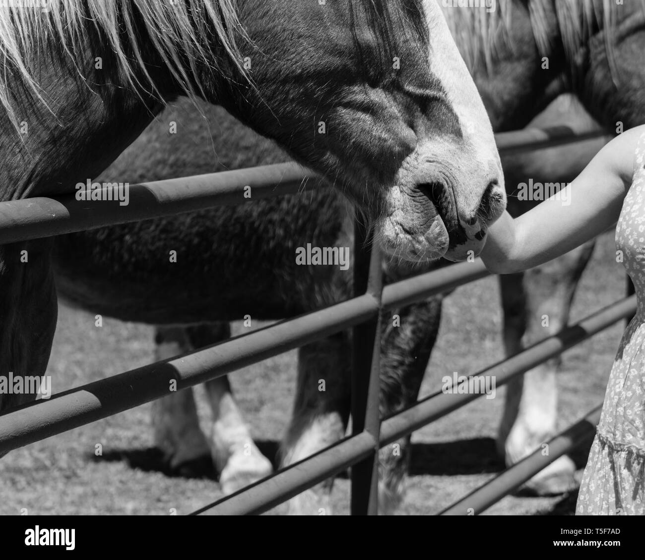 Vintage tone close-up the hands of young lady touching the Holland Draft Horse. Female hand stroking a brown Dutch stallion head. Tenderness, caring f - Stock Image