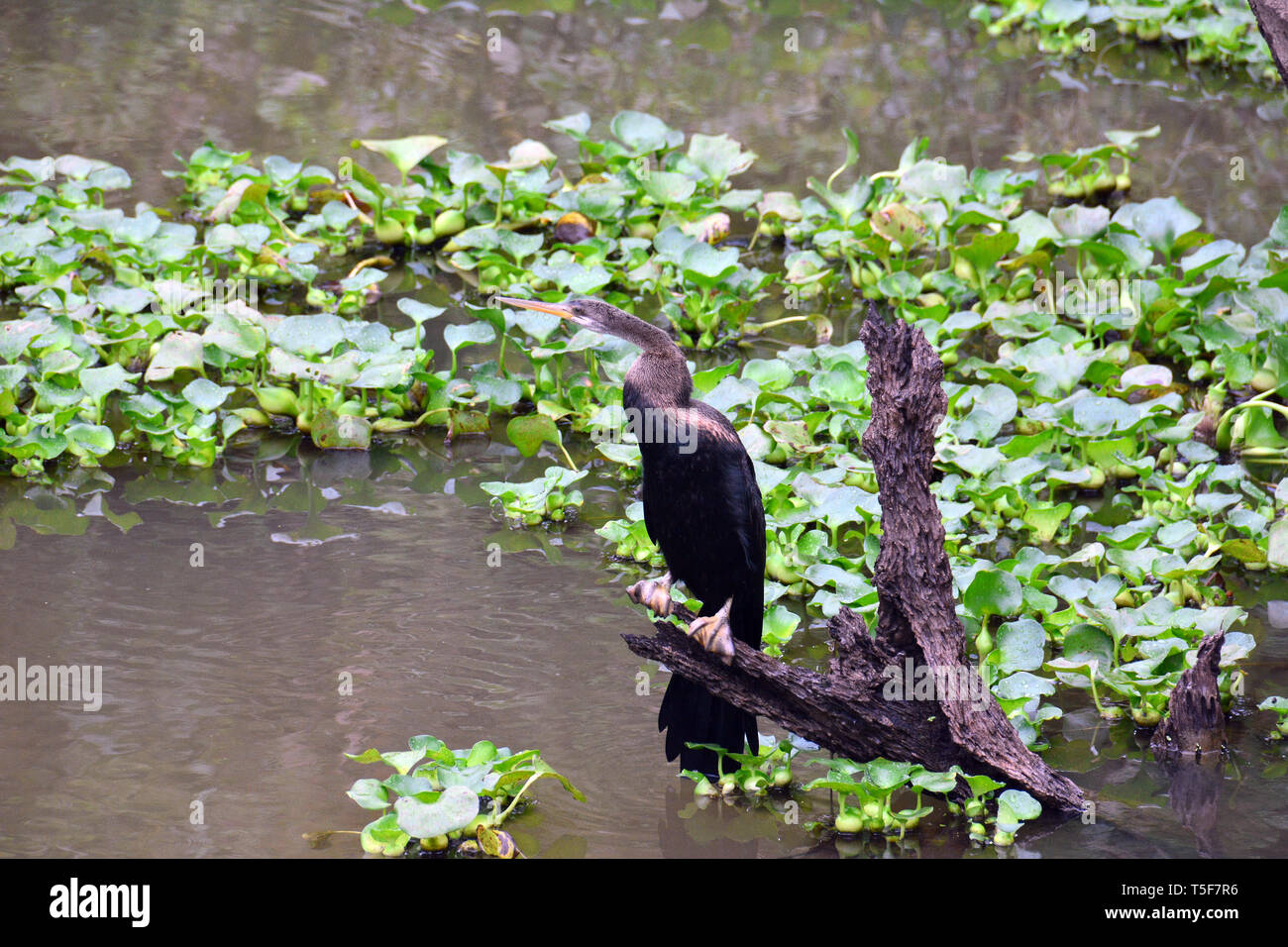 Oriental darter, Indische Schlangenhalsvogel, Anhinga melanogaster, feketehasú kígyónyakúmadár, Sri Lanka - Stock Image