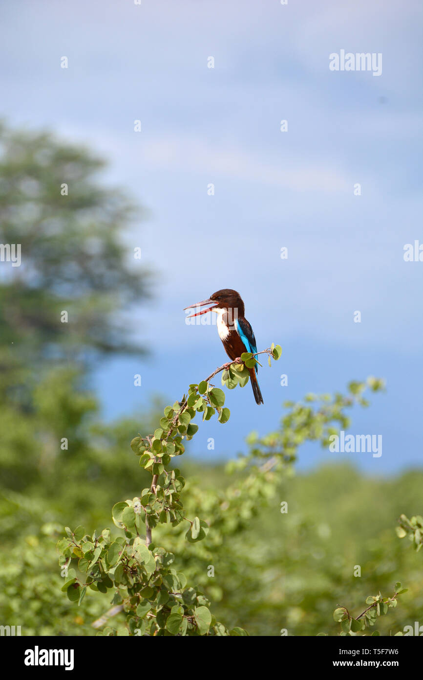 white-throated kingfisher, Braunliest, Halcyon smyrnensis, fehértorkú halkapó, Sri Lanka - Stock Image