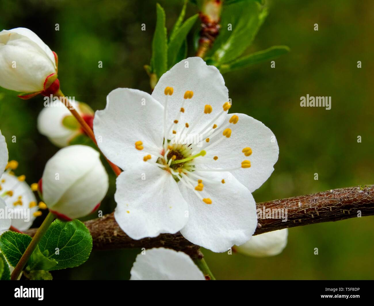 beautiful pure white and fragrant fruit tree blossoms in spring - Stock Image
