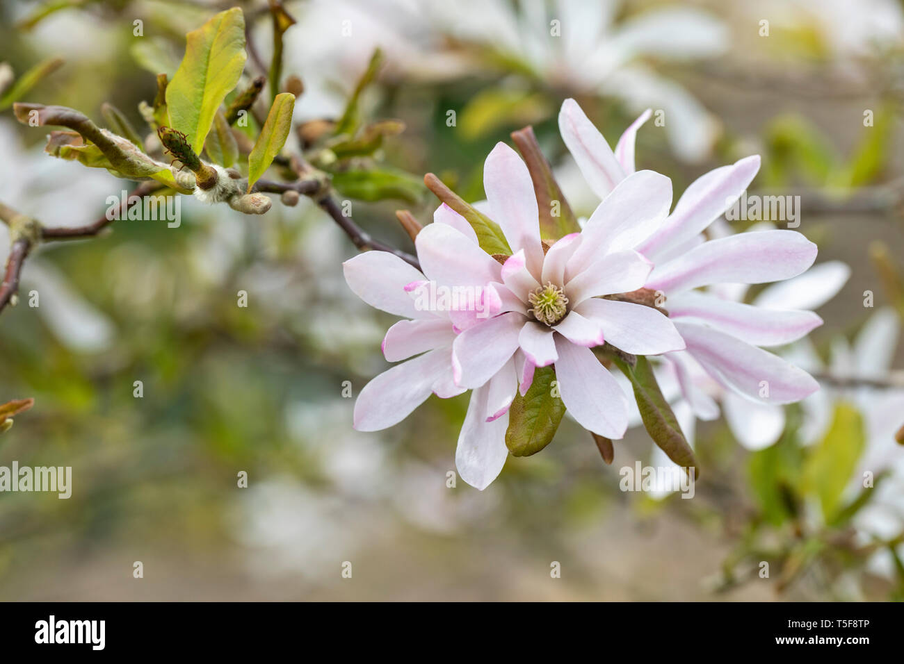 Close up of the flower of Magnolia x loebneri - Leonard Messel in April against a blurred background Stock Photo