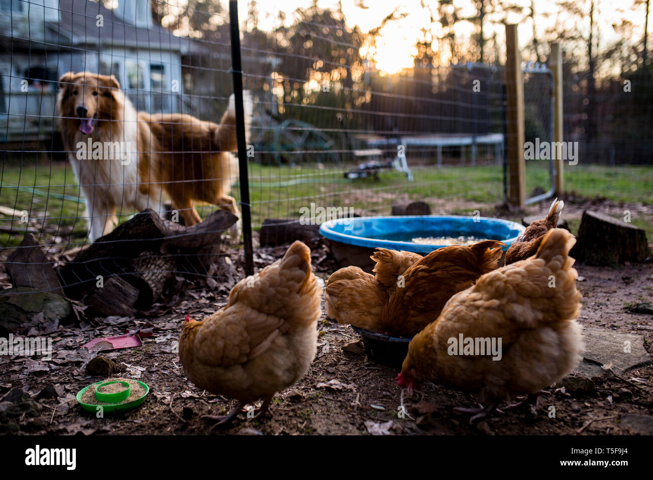 Chickens eat while collie dog remains close to watch - Stock Image