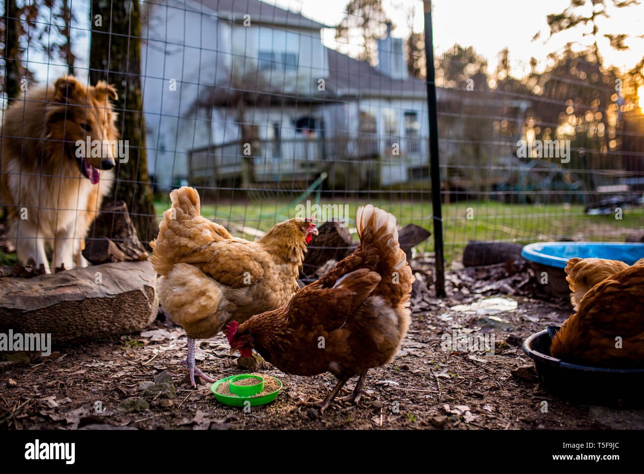 Curious collie watches backyard chickens eat at sunset - Stock Image