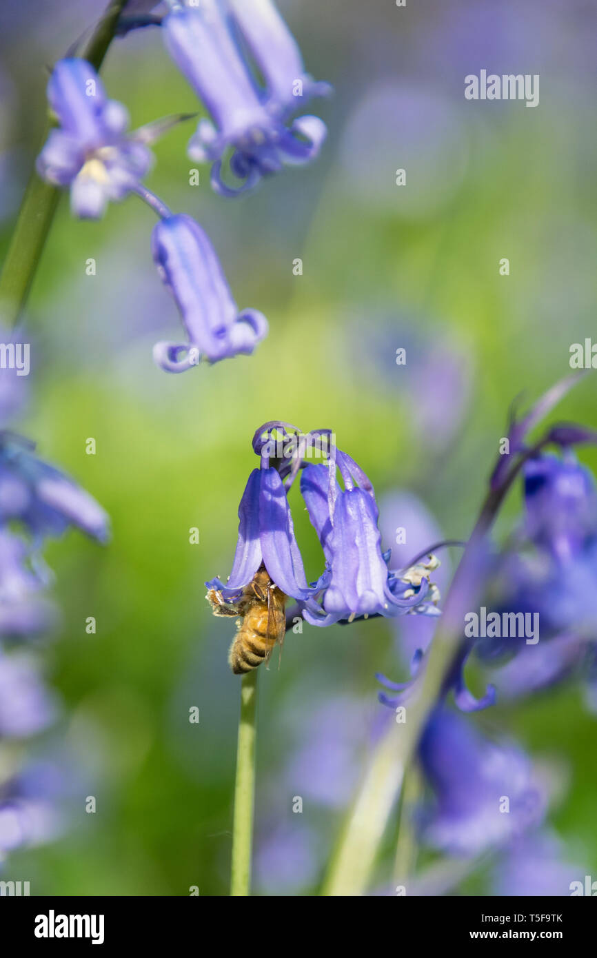 Honey bee collecting nectar pollen from bluebell wild flower in woodland countryside Stock Photo