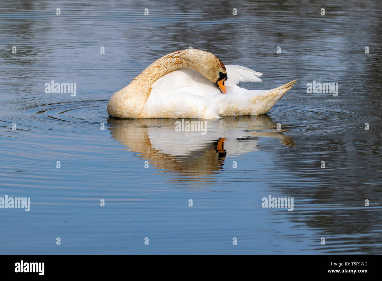 Adult mute swan (cygnus olor) with discoloured feathers from disturbing lake sediment during feeding Stock Photo