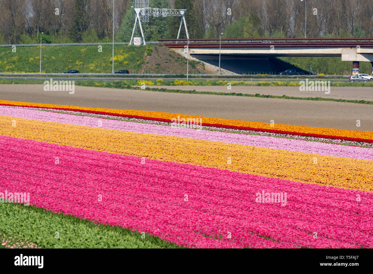 Spring landscape with blossoming tulip fields, mills and highway, Dutch lifestyle Stock Photo