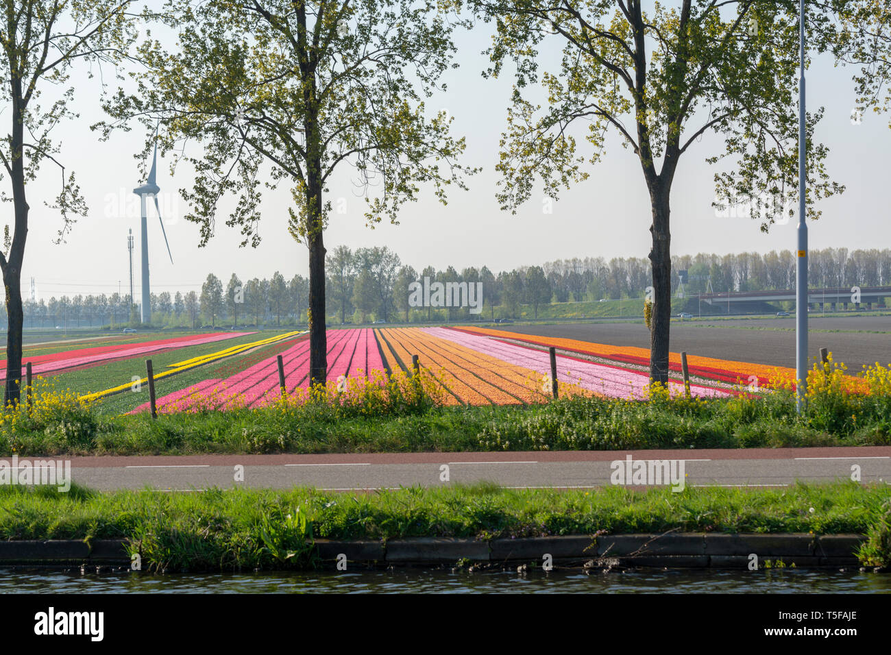 Spring landscape with blossoming tulip fields, mills, bicycle path and highway, Dutch lifestyle Stock Photo