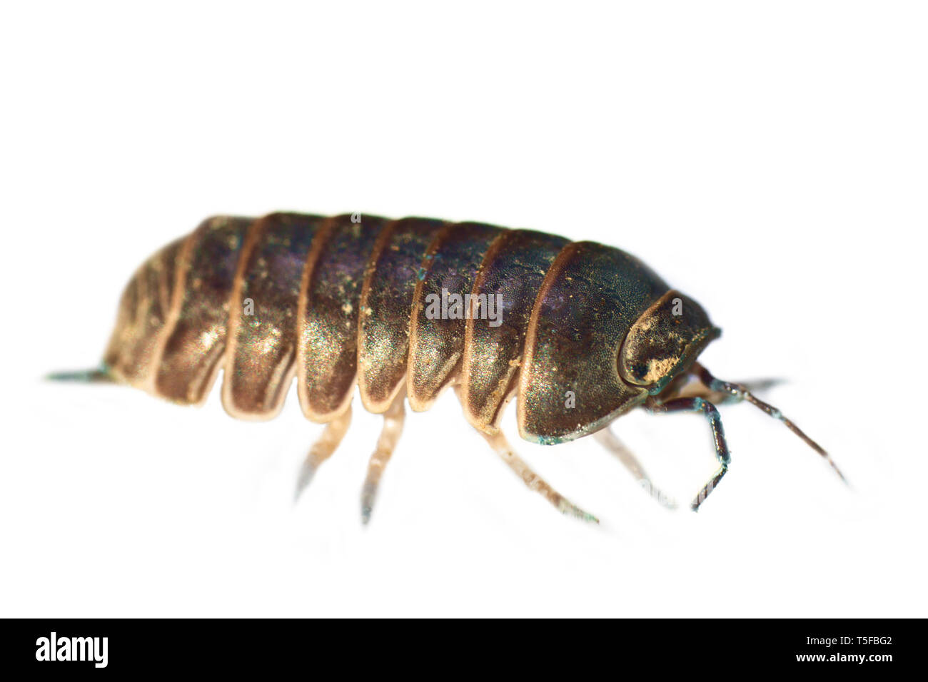 The usual sow bug (wood louse) beautiful in ultra close-up, in white background. All stages of folding into a ball, The inhabitants of the forest floo - Stock Image