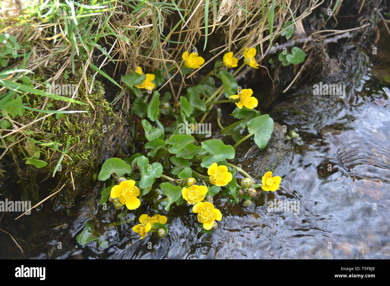 Yellow flowers growing near a stream in spring Stock Photo