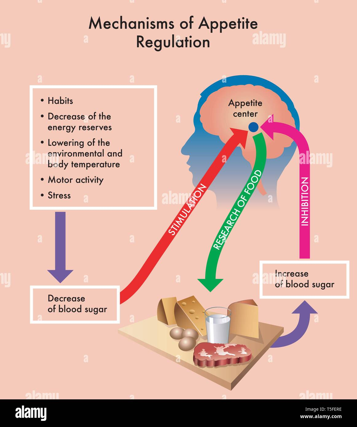 Medical diagram showing of the mechanisms of appetite regulation. - Stock Image
