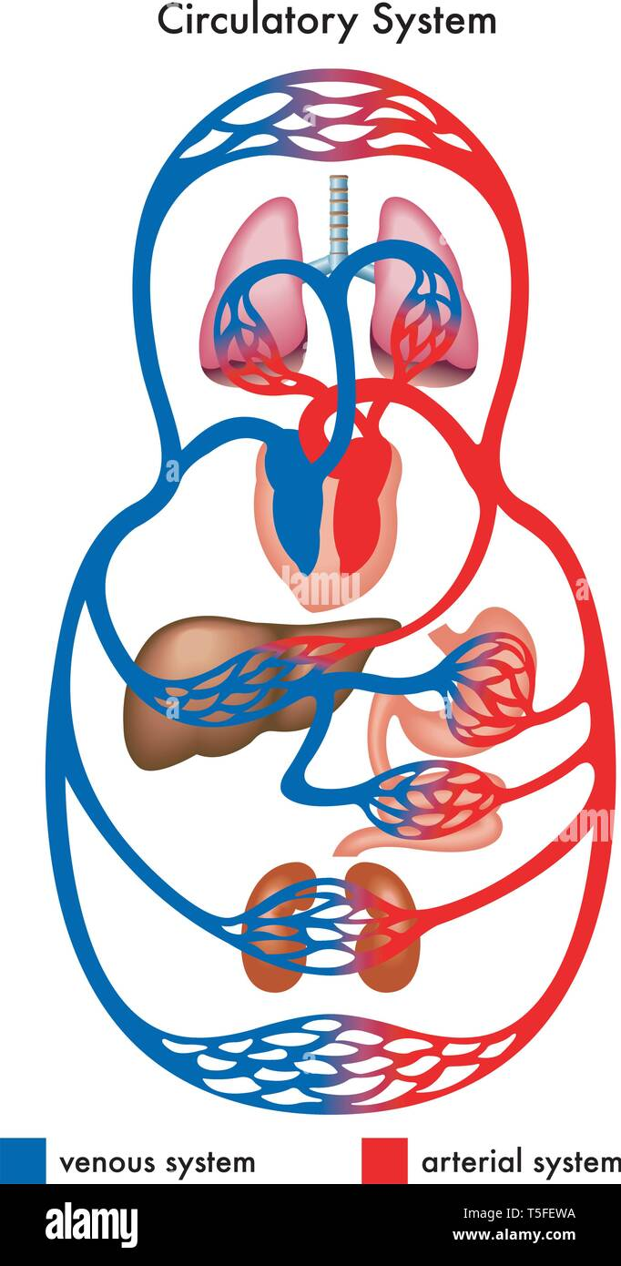 Medical diagram showing the circulatory system of the human body, in particular the venous and arterial systems. - Stock Image