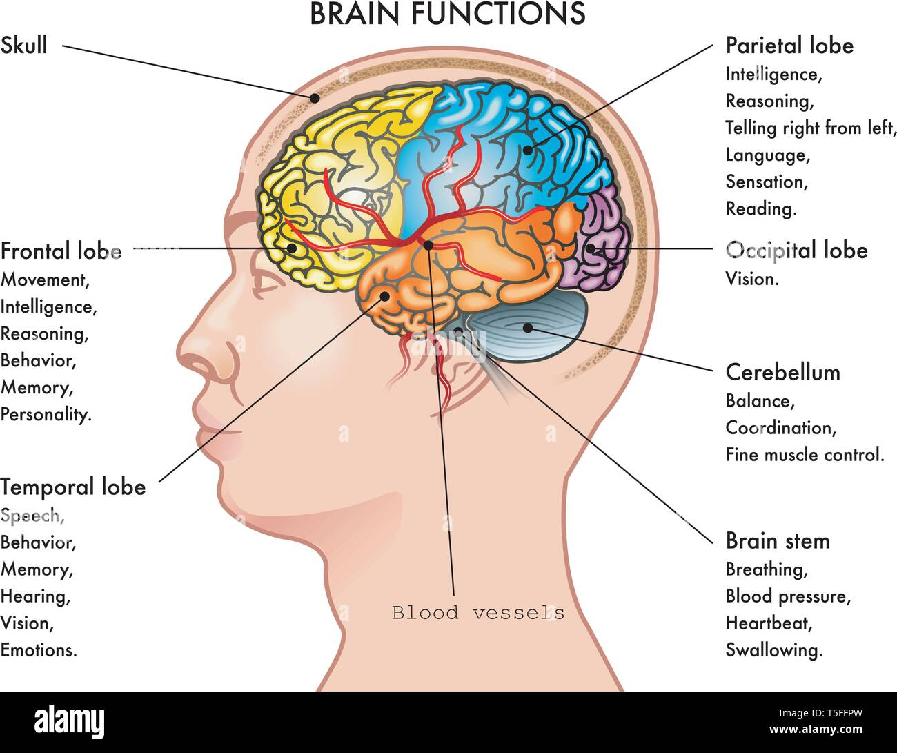 Chart vector illustration of a human head in profile showing the functions of the brain, isolated on a white background. - Stock Image